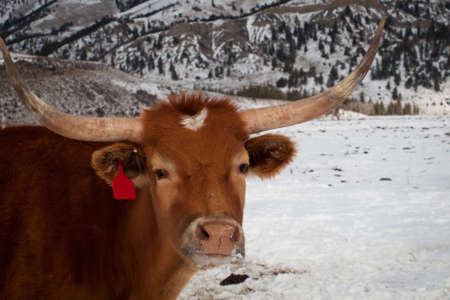 Texas longhorn on the farm in Silverthorne, Colorado. photo