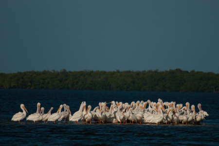 White pelicans at the Chokoloskee Island. photo