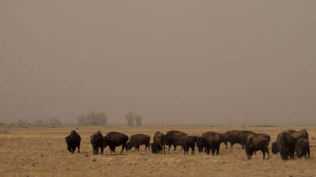 Buffalo herd on Zapata Ranch, Colorado. The high desert grasslands, alpine forests, wetlands, sand dunes, creeks and lush meadows offer one of the most scenic and ecologically diverse landscapes for bison ranch. photo