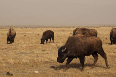 Buffalo herd on Zapata Ranch, Colorado. The high desert grasslands, alpine forests, wetlands, sand dunes, creeks and lush meadows offer one of the most scenic and ecologically diverse landscapes for bison ranch. Stock Photo - 12924815