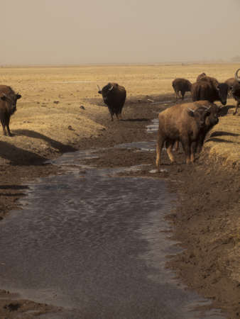river county: Buffalo herd on Zapata Ranch, Colorado. The high desert grasslands, alpine forests, wetlands, sand dunes, creeks and lush meadows offer one of the most scenic and ecologically diverse landscapes for bison ranch. Stock Photo