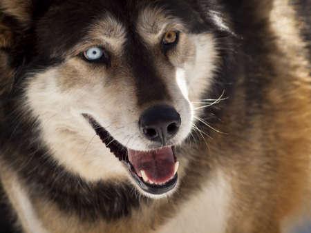 Large wolf in captivity. Stock Photo - 13209928
