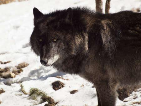 Large wolf in captivity. Stock Photo - 13209929