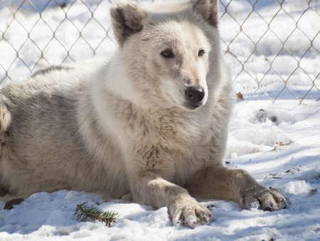 Large wolf in captivity. Stock Photo - 13210006