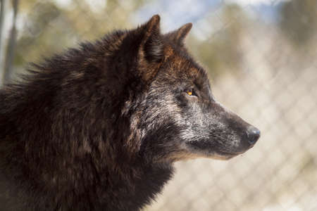Large wolf in captivity. Stock Photo - 13210005