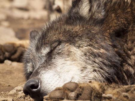 captive animal: Large wolf in captivity. Stock Photo