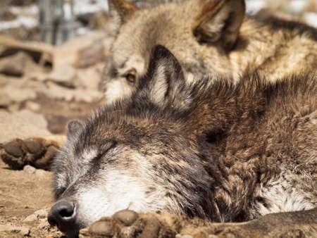 enimal eye: Large wolf in captivity. Stock Photo