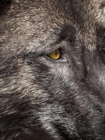Large wolf in captivity. Stock Photo - 13210703