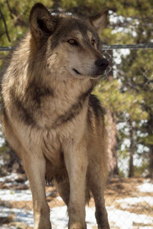 Large wolf in captivity. Stock Photo - 13210096