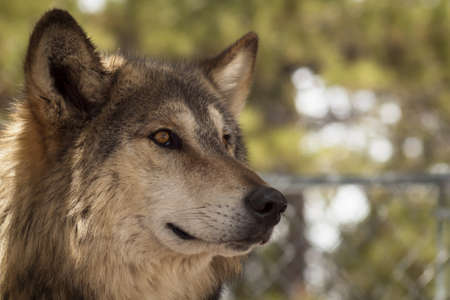 Large wolf in captivity. Stock Photo - 13210031
