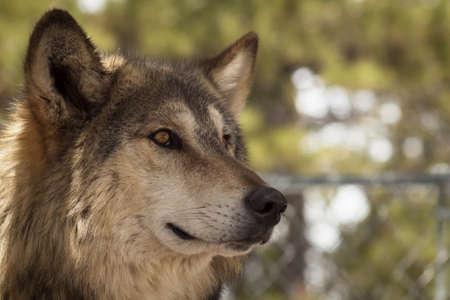 Large wolf in captivity. Stock Photo - 13210031
