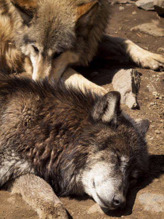 Large wolf in captivity. photo