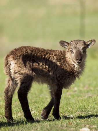 st kilda: The Soay sheep is a primitive breed of domestic sheep descended from a population of feral sheep on  island of Soay in the St. Kilda Archipelago.
