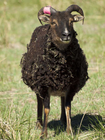 The Soay sheep is a primitive breed of domestic sheep descended from a population of feral sheep on  island of Soay in the St. Kilda Archipelago. photo