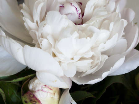 ranging: Peony or paeony  have compound, deeply lobed leaves, and large, often fragrant flowers, ranging from red to white or yellow, in late spring and early summer. This flower named after Paeon, a student of Asclepius, the Greek god of medicine and healing.