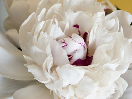Peony or paeony  have compound, deeply lobed leaves, and large, often fragrant flowers, ranging from red to white or yellow, in late spring and early summer. This flower named after Paeon, a student of Asclepius, the Greek god of medicine and healing. Banco de Imagens - 13603075