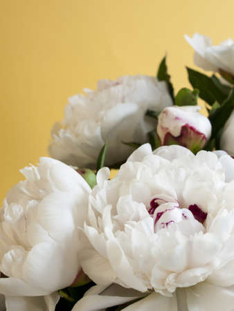 Peony or paeony  have compound, deeply lobed leaves, and large, often fragrant flowers, ranging from red to white or yellow, in late spring and early summer. This flower named after Paeon, a student of Asclepius, the Greek god of medicine and healing.