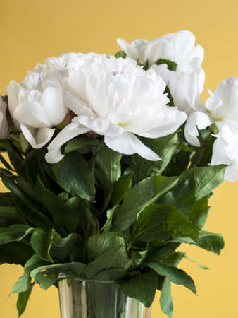 lobed: Peony or paeony  have compound, deeply lobed leaves, and large, often fragrant flowers, ranging from red to white or yellow, in late spring and early summer. This flower named after Paeon, a student of Asclepius, the Greek god of medicine and healing.