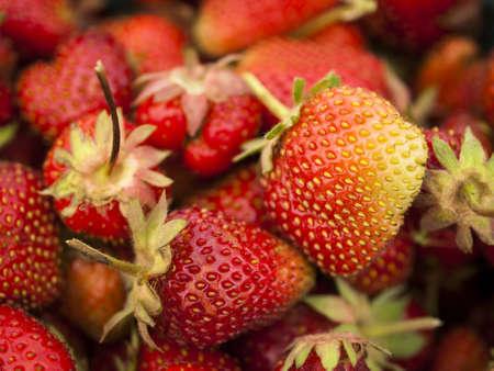 Recogiendo rassberies de Berry Farm, en Colorado. Foto de archivo - 13999089