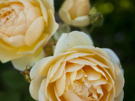 Close up of beautiful rose in the garden. Stock Photo - 14046097