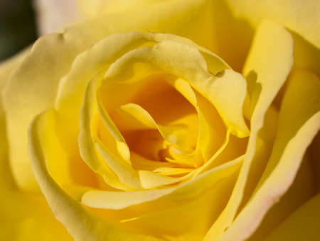 Close up of beautiful rose in the garden. photo
