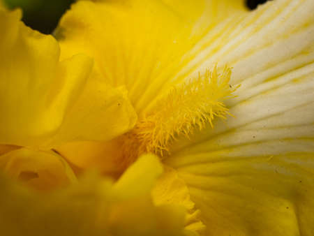 Blooming iris at the end of the bloom cycle.