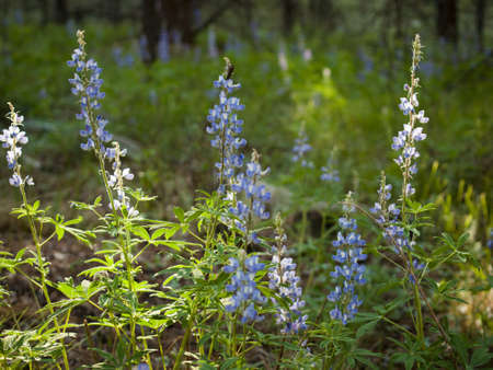 silvery: Silvery lupine native to much of western North America from the southwestern Canadian provinces to the southwestern and midwestern United States.