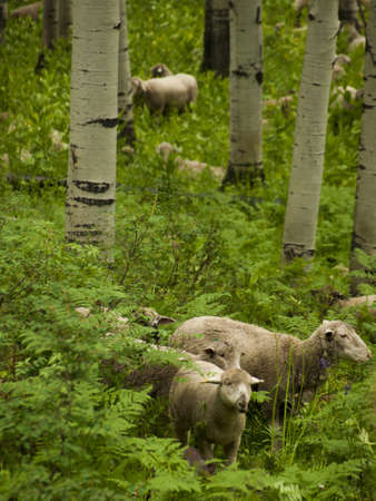 Sheepherd grazing on the forest floor in Kebler Pass, Colorado. photo