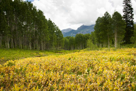 Mountain forest in Kebler Pass, Colorado. photo