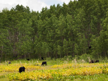 Black cows grazing on the forest floor in Kebler Pass, Colorado. photo