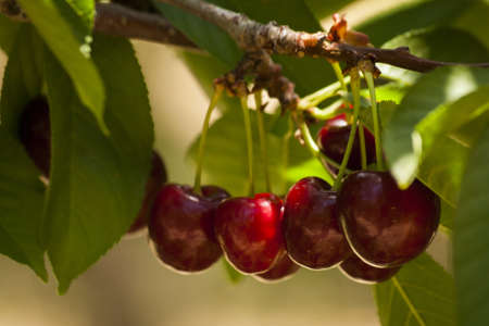 Cherry farm on western slopes of Colorado.