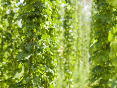 Houblon ferme à Palisade, Colorado. Le houblon est utilisé principalement comme un arôme et un agent de la stabilité dans la bière, à laquelle ils donnent un goût amer, saveur acidulée, si le houblon sont également utilisés à des fins diverses dans d'autres boissons et de la phytothérapie. Banque d'images - 14394006