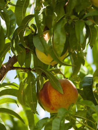 Peach farm in Palisade, Colorado. photo