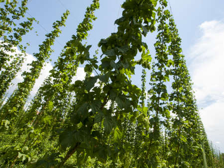 Hops farm in Palisade, Colorado. Hops are used primarily as a flavoring and stability agent in beer, to which they impart a bitter, tangy flavor, though hops are also used for various purposes in other beverages and herbal medicine. Stock Photo - 14393397