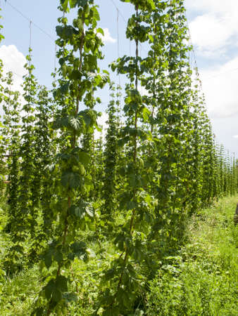 impart: Hops farm in Palisade, Colorado. Hops are used primarily as a flavoring and stability agent in beer, to which they impart a bitter, tangy flavor, though hops are also used for various purposes in other beverages and herbal medicine. Stock Photo