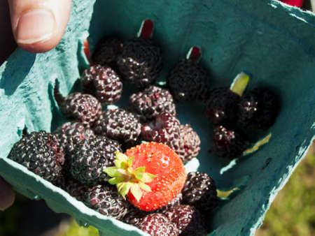 graden: Black rasberry growing in the graden. Stock Photo