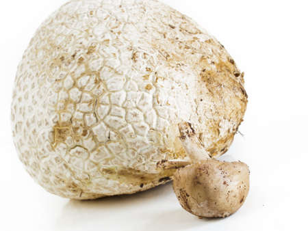 The western giant puffball grows on composted soil such as in meadows, fields, and forests, roadsides, sagebrush flats, pastures, and other sunny places. Stock Photo - 14949946