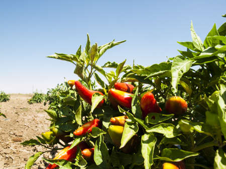 Growing organic vegetables on farm in Rocky Ford, Colorado. photo