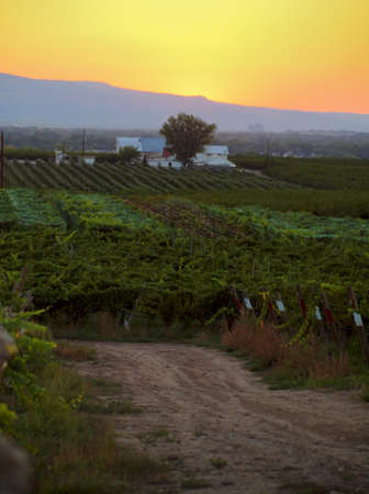 wine road: Grapes ready to be harvested at a vineyard in Palisade, Colorado.