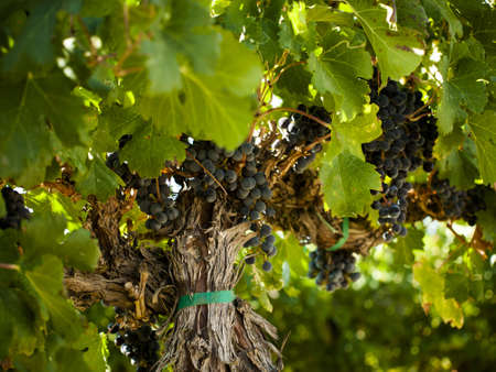Red grapes ready to be harvested at a vineyard in Palisade, Colorado. photo