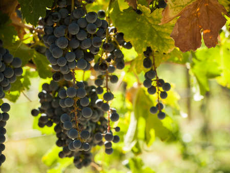 pinot: Red grapes ready to be harvested at a vineyard in Palisade, Colorado.