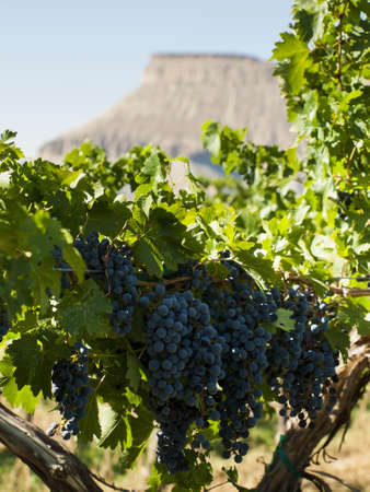 arroyo: Red grapes ready to be harvested at a vineyard in Palisade, Colorado.