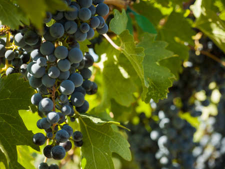 Red grapes ready to be harvested at a vineyard in Palisade, Colorado.