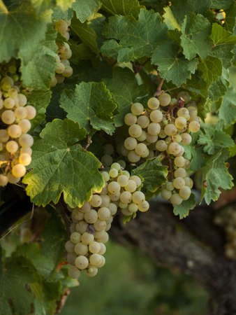 sauvignon blanc: White grapes ready to be harvested at a vineyard in Palisade, Colorado. Stock Photo