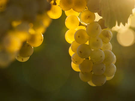White grapes ready to be harvested at a vineyard in Palisade, Colorado. photo