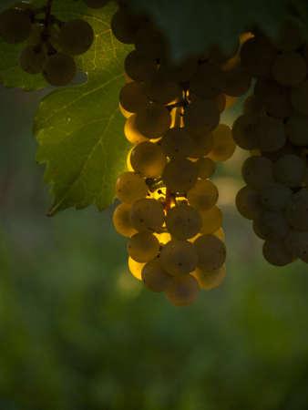 union familiar: Las uvas blancas listas para ser cosechadas en un viñedo en Palisade, Colorado.