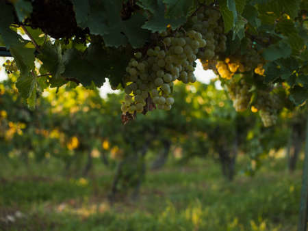 pinot: White grapes ready to be harvested at a vineyard in Palisade, Colorado. Stock Photo
