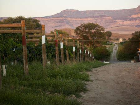 Grapes ready to be harvested at a vineyard in Palisade, Colorado. Stock Photo - 15135024