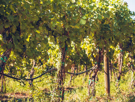 vinery: Red grapes ready to be harvested at a vineyard. Stock Photo
