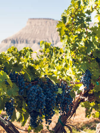 vinery: Red grapes ready to be harvested at a vineyard in Palisade, Colorado.